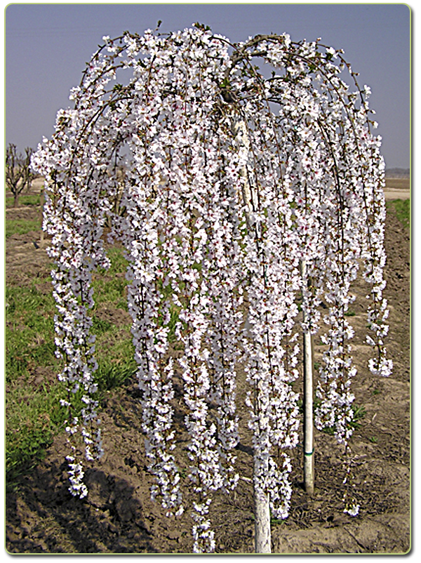 Weeping Cherry Snow Fountain
